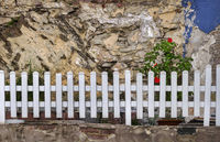 The roses on the old wall
