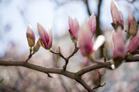 Beautiful magnolia blooms in spring, Salzburg, beauty