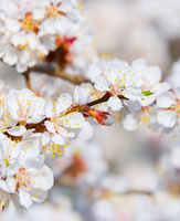 Blossom flowers tree in spring