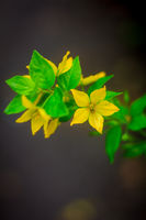 Yellow beautiful summer flowers. Yellow flower petals. Natural flowers