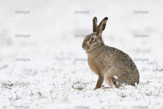 Brown Hare / European Hare * Lepus europaeus * in winter, sitting in snow