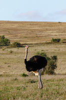 Inquisitive Ostrich twisting his body to look around