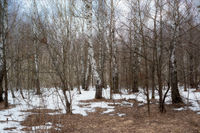 Landscape early spring in the birch forest