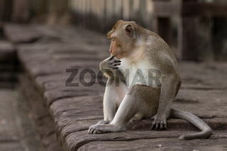Long-tailed macaque sucks finger on stone wall