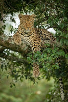 Leopard on branch dangling paw and tail