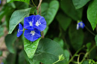 Close-up of morning glory blue flowers