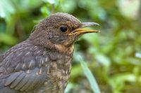 juvenil blackbird