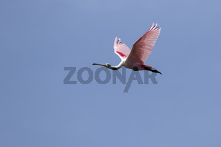 roseate spoonbill flying over the marshes on a bright sunny day