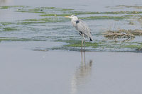isolated heron in the wetlands