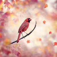 Male Northern Cardinal on autumn background