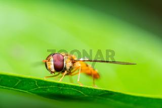 Macro shot of a marmalade hoverfly or Episyrphus balteatus