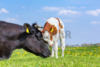 Cow and newborn calf hug each other in meadow