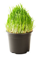 Cat green grass isolated