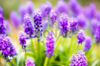 dreamy close up view of purple grape hyacinth or muscari flowers
