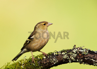 Common Chaffinch perching on a mossy branch