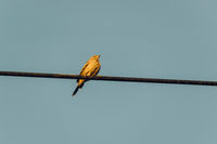 Sparrow on an electric cable