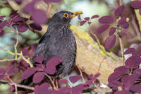Blackbird with a worm in the beak