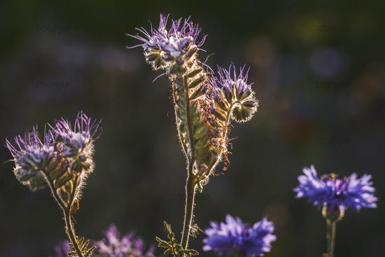 Rainfarn-Phazelia with cornflowers