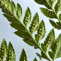 Macro photo of green leaf of fern on gray background with copy space. Natural creative layout. Top view