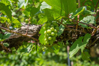 Green Organic Grapes hanging from the vine with the old tree trunks
