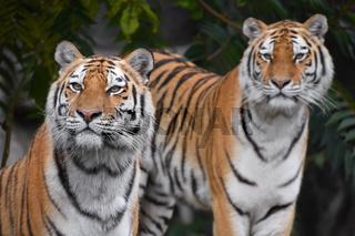 Close up portrait of two Amur tigers