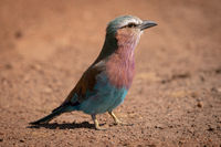 Lilac-breasted roller standing on dirt with catchlight