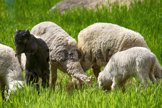 Sheep and lambs graze on young juicy meadows