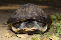 Indian black turtle, Melanochelys trijuga, Hampi, Karnataka, India.  Medium-sized freshwater turtle found in South Asia.