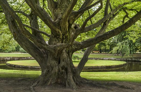The tree in the Bayreuth Hofgarten