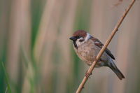 Eurasian tree sparrow from Hungary