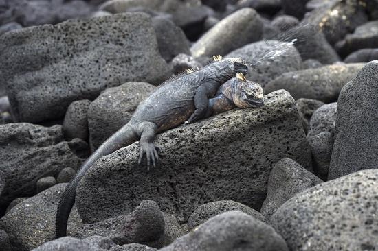 Marine iguana Amblyrhynchus cristatus albemarlensis sneezing , Galapagos Islands, Ecuador