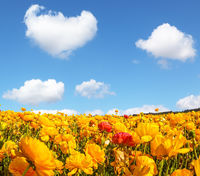 The magnificent blossoming fields of garden buttercups. Fluffy clouds over the floral splendor. Concept of agrotourism