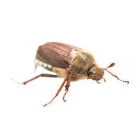May bug or cockchafer