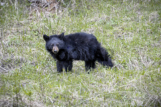 Sideview of bear cub.