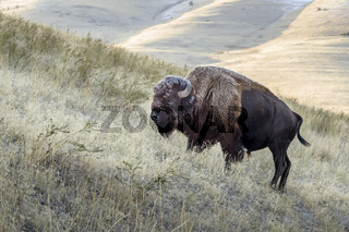 Bison on a hill side grazing for food in Montana.
