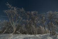 Hoarfrost covered birches in moonlight, Karesuando, Lapland, Sweden