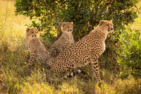 Female cheetah sits staring with two cubs