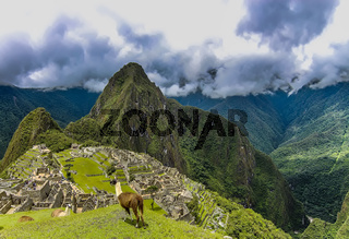Two Llama on a plateau area in Machu Picchu