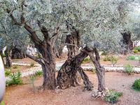 Olive tree in a park in jerusalem.