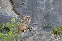 European eagle owl, Bubo bubo