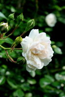 whitw rose