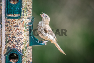 chipping sparrow in nature
