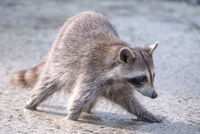 racoon wading in puddle looking for food