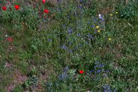 Wild meadow with different poppies