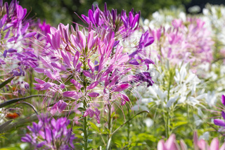 Spinnenblume (Cleome Spinosa) im Beet