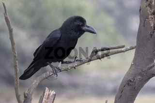 Indian jungle crow who sits on a dry branch near a small pond on a wintery overcast day