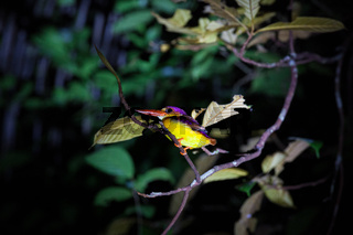 Kingfisher on tree branch at night