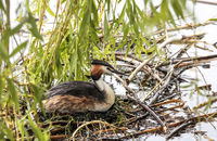 Great Crested Grebe, (Podiceps cristatus) female, brooding in the nest