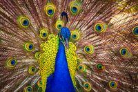 A Male Peacock Showing its Feathers, Kauai, Hawaii
