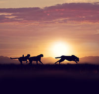 Cheetahs running at sunset